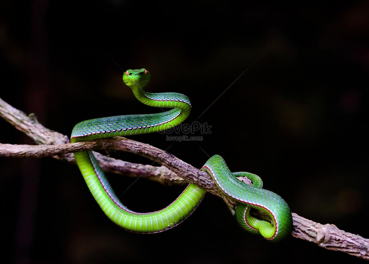 màu xanh lá cây con rắn