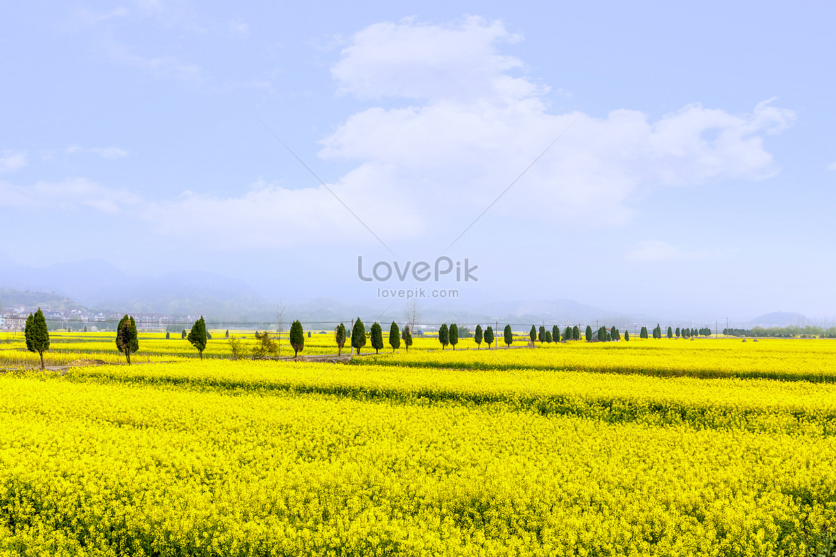 Field Of Brassica Flower In The Spring Photo Imagepicture Free