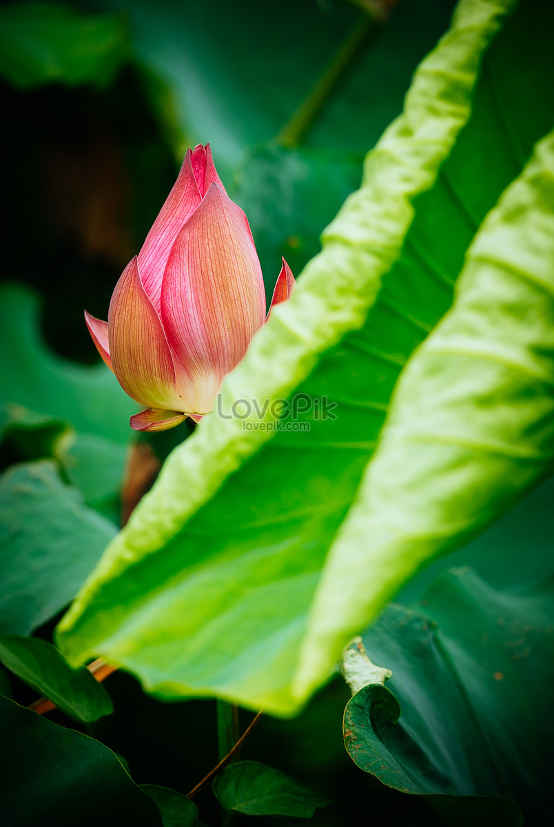 Lotus flower bud in summer photo imagepicture free download lotus flower bud in summer izmirmasajfo