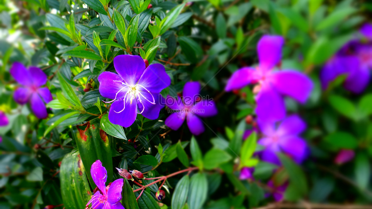 The Purple Flowers Blooming In Spring Photo Imagepicture Free