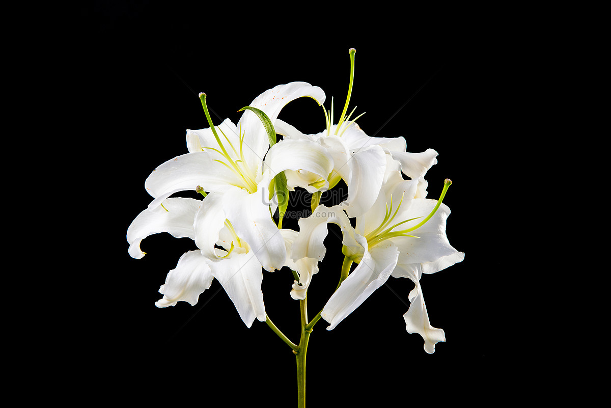 Lilies in black background photo imagepicture free download lilies in black background izmirmasajfo