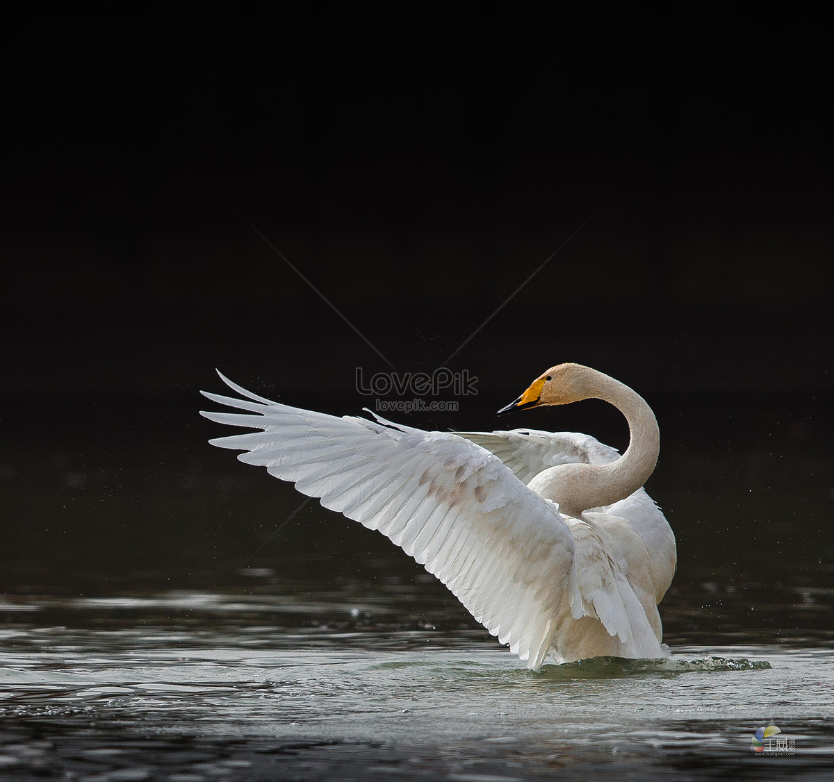 4000x2289 free download pictures of mute swan.