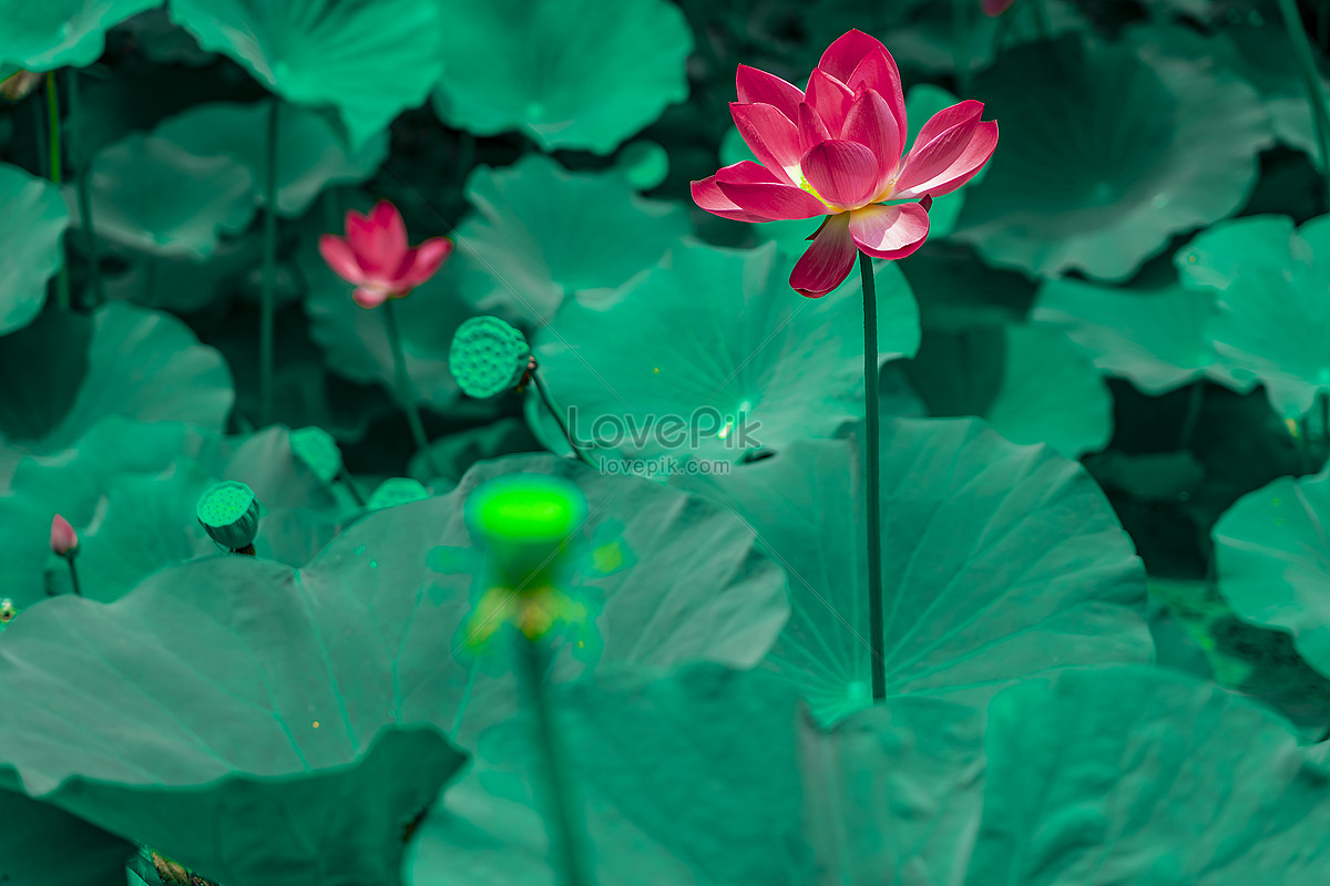 Beautiful Lotus Flower Photo Imagepicture Free Download