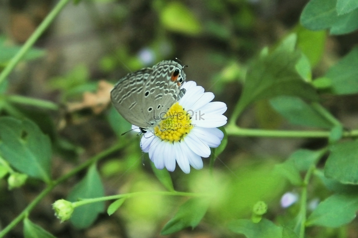 Little daisy flowers and butterflies photo imagepicture free little daisy flowers and butterflies izmirmasajfo
