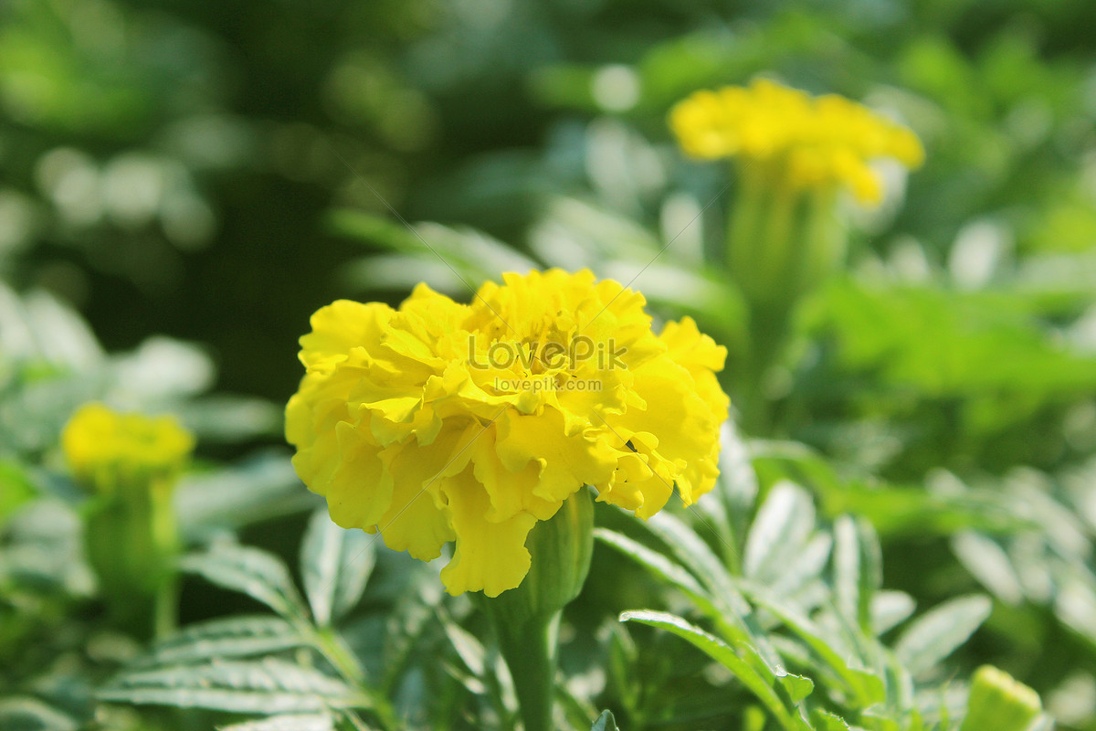 Yellow carnation flower photo imagepicture free download yellow carnation flower mightylinksfo